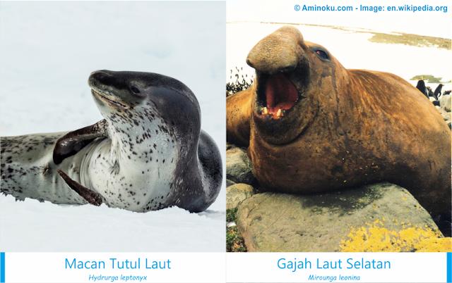 Perbedaan antara macan tutul laut dan gajah laut selatan