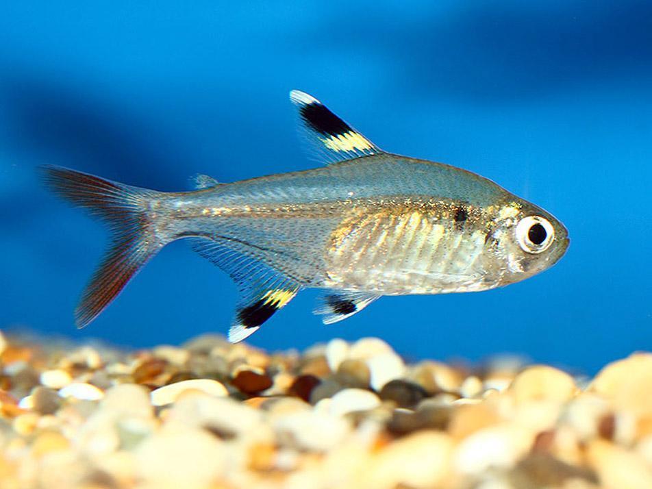 tetra fish kinds - Lemon tetra   Redorbit