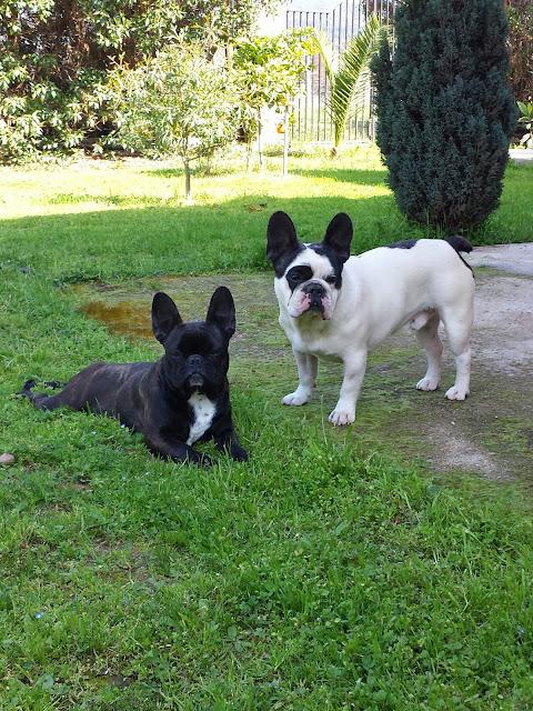 rodrigo-bustos-julio-criadero-bulldog-frances-otterstein-en-chile-quilpue