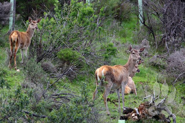 Espagne-Monfrague-cerf-elaphe-biches-faon