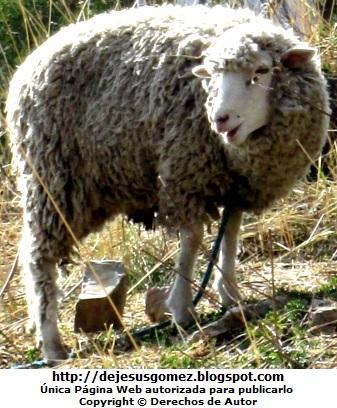 Foto de oveja de la sierra del Perú por Jesus Gómez