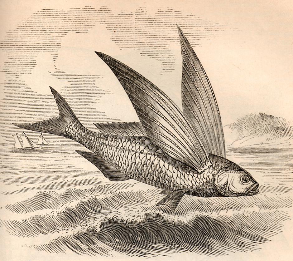 Vintage Clip Art- Flying Fish