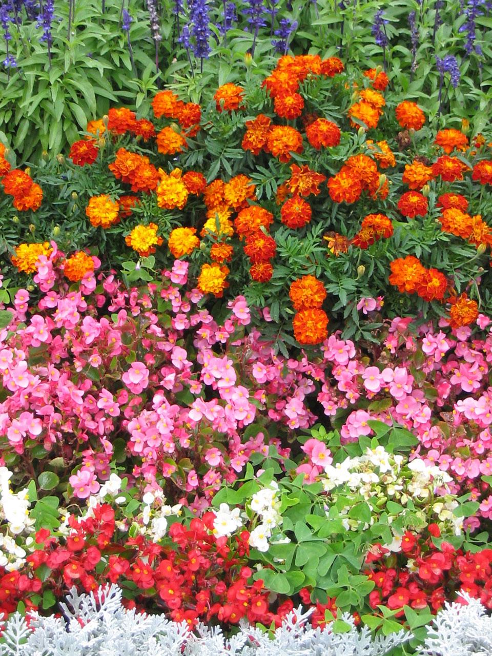 The Marigold Tarot Major Arcana The: Garden Therapy: Marigold Beautiful