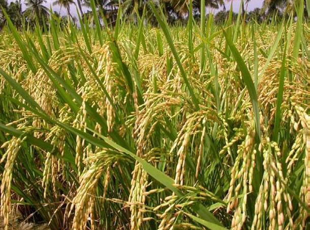 "Scientist in China Develops Super-tough ""Sea Rice"", Tolerant to Salinity; This High-yielding Hybrid Can Feed 200 million People"