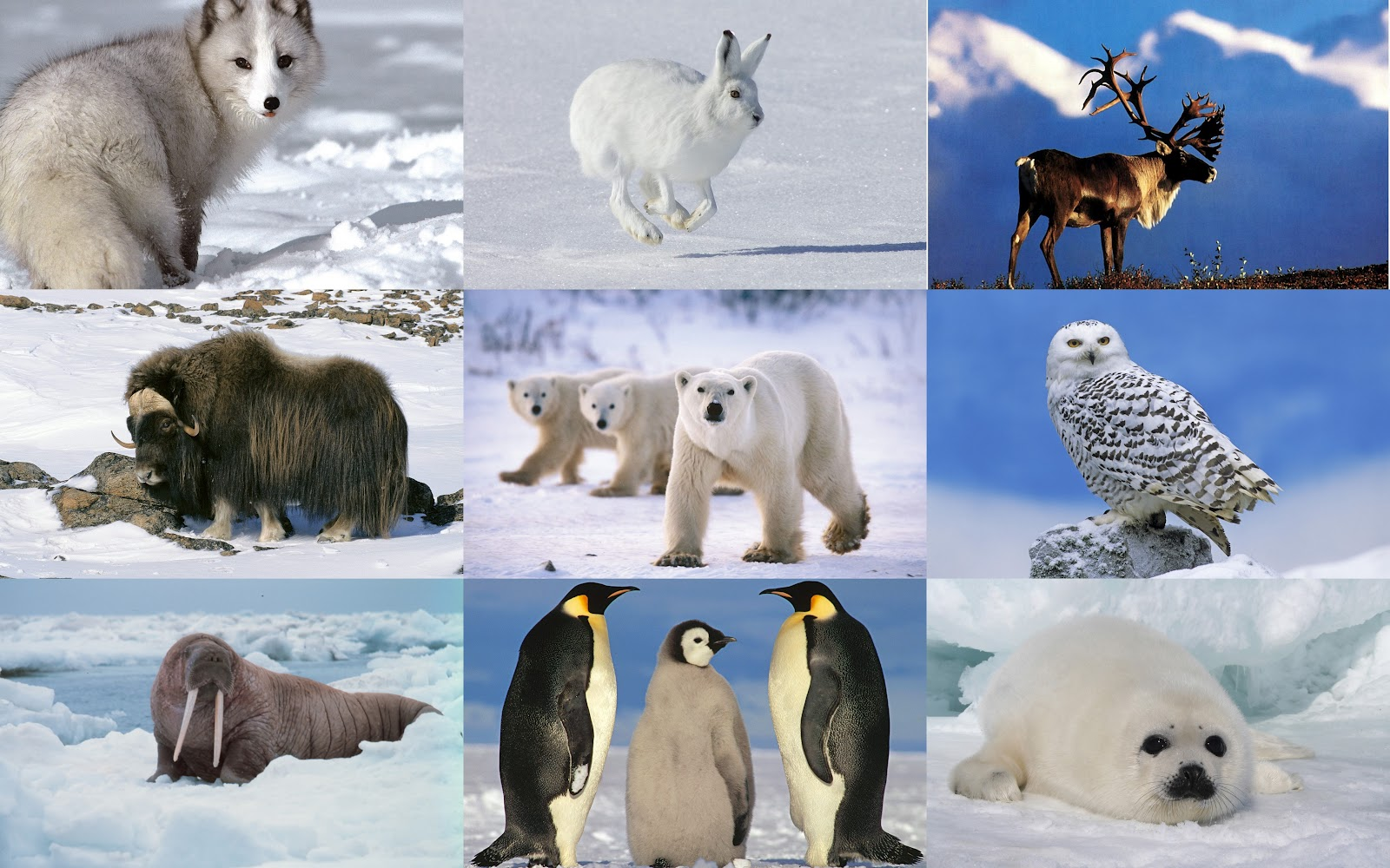 polar animals snow animal winter habitats plants cold adaptations snowy survive land hibernating irena week they