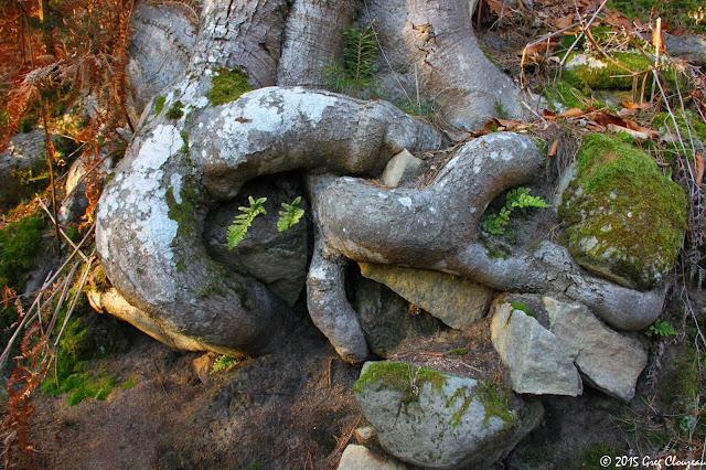 racine de hêtre sur le sentier bleu du mont Ussy, Fontainebleau (C) 2015 Greg Clouzeau