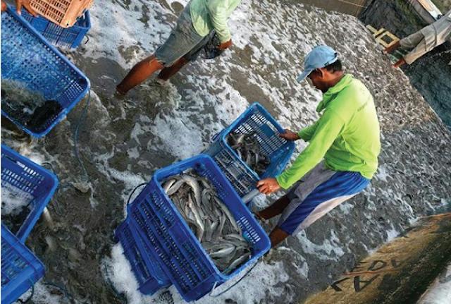 Peternak ikan di Indonesia berkembang pesat