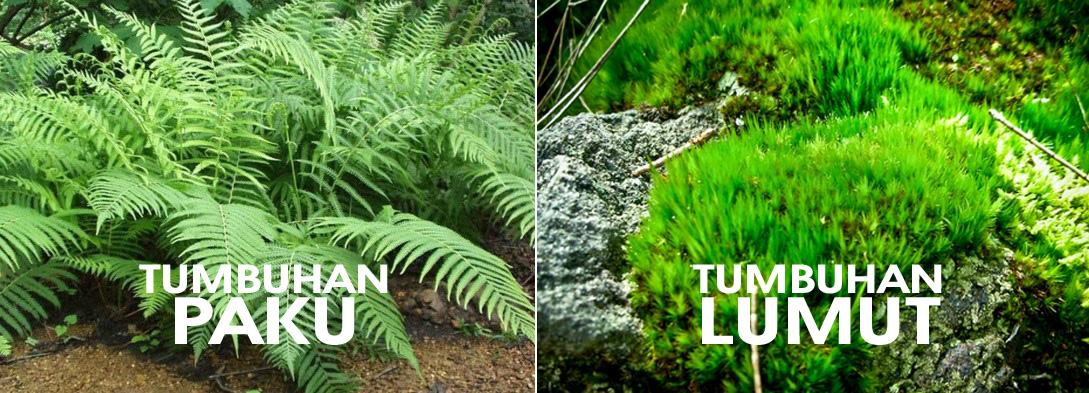 Mengenal Perbedaan Ciri Tumbuhan Lumut Dengan Tumbuhan Paku