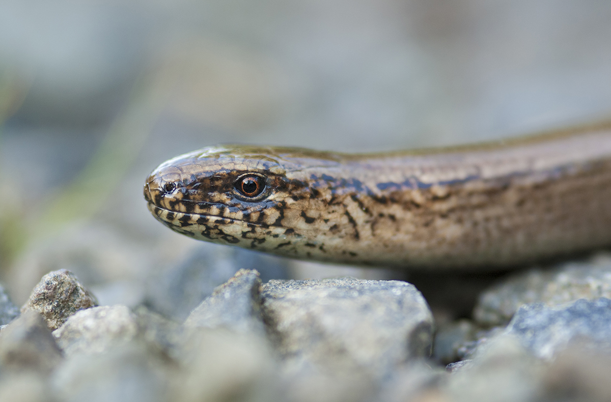 Slow Worm (1/60 sec at f3.5; ISO 320)