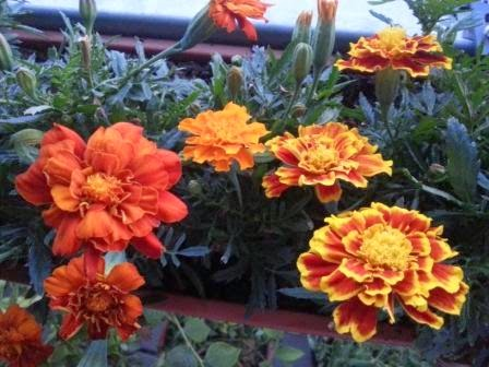 Studentenblume -ungiftige Pflanzen