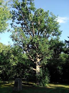 Dąb Tadeusza Kościuszki w angielskiej części ogrodów nieborowskich