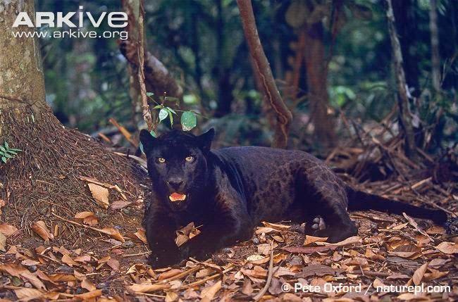 interactions between jaguars preys