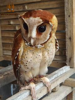 Burung Hantu Oriental Bay Owl / Obay Owl