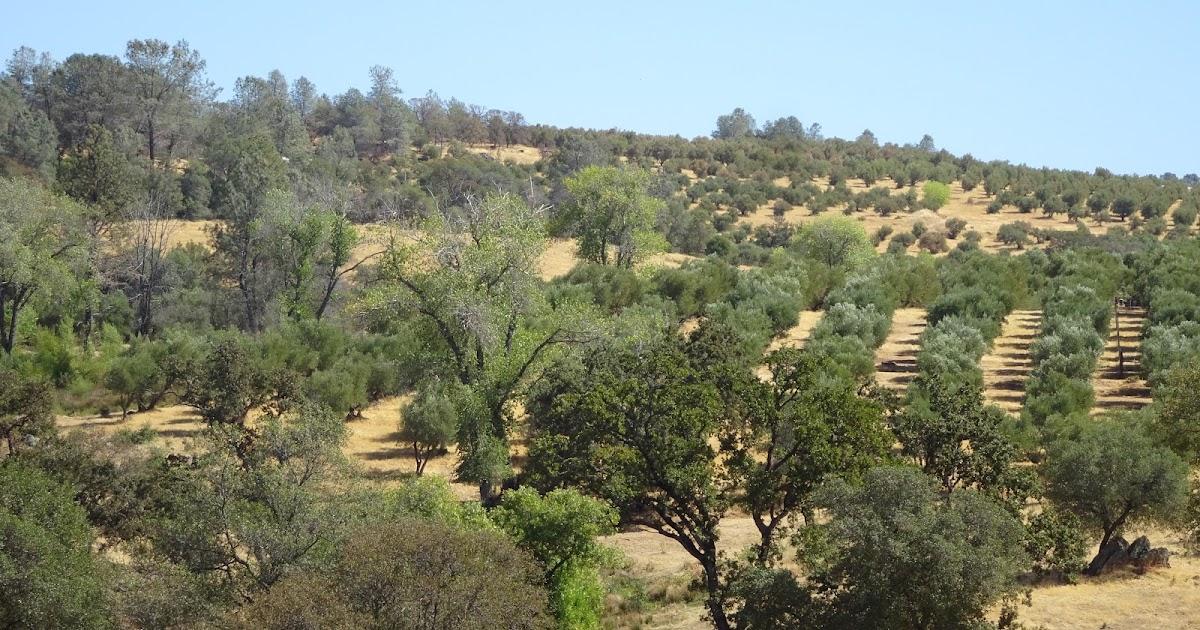 LODESTAR CALIFORNIA OLIVE OIL