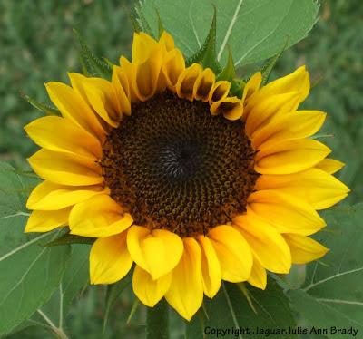 An Artistic Yellow Sunflower Blossom