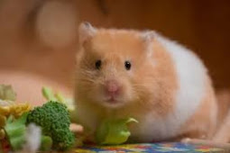 Cara Mudah Merawat Hamster Bagi Pemula Lengkap
