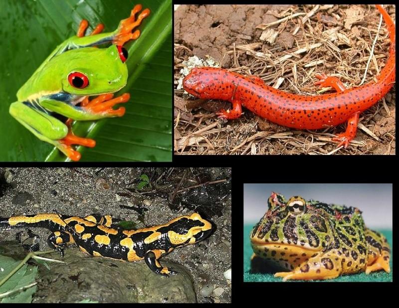 Anfíbios, Ecologia, Distribuição e Classificação dos Anfíbios