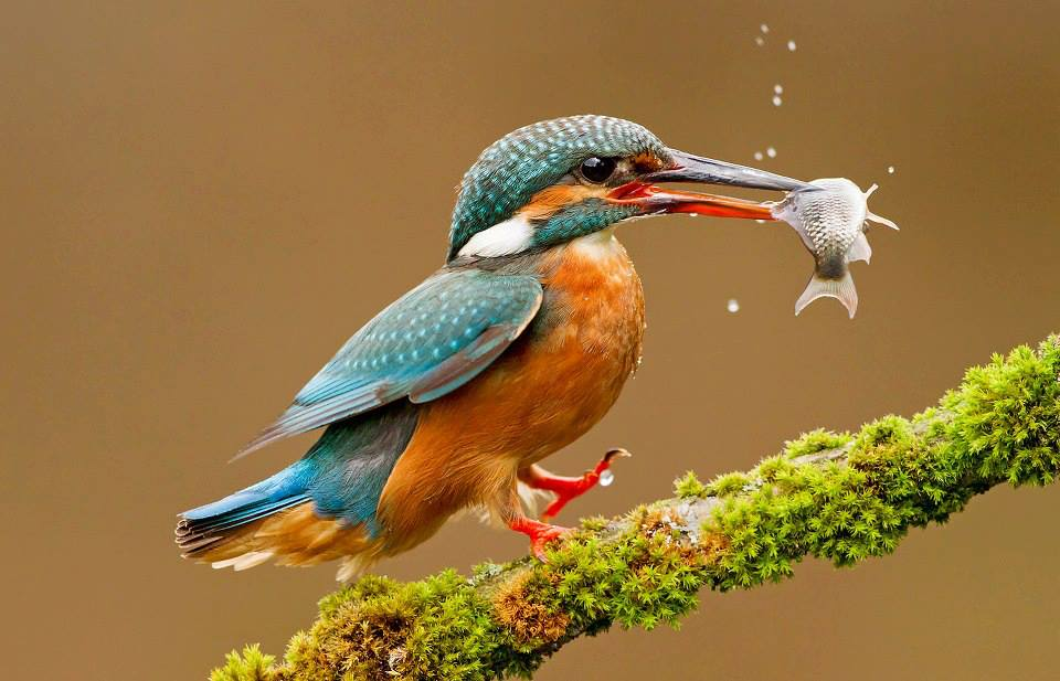Beautiful Kingfishers HD Wallpaper Free Download