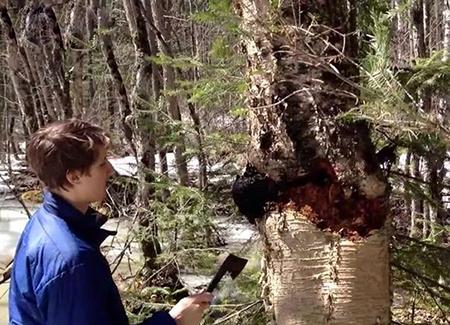 Nấm Chaga Nga ở trên cây