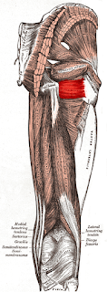 quadratus femoris muscle, anatomy, muscle picture