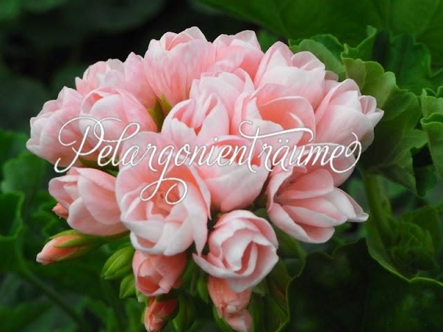 Tulpengeranie-Tulpenpelargonie