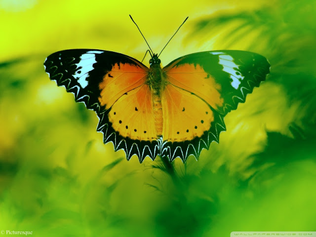 beautiful butterfly 8 wallpaper