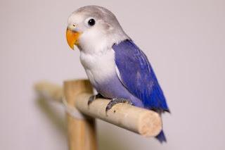 Burung Lovebird - Hal-Hal Penting Ketika Merawat Burung Lovebird - Penangkaran Burung Lovebird