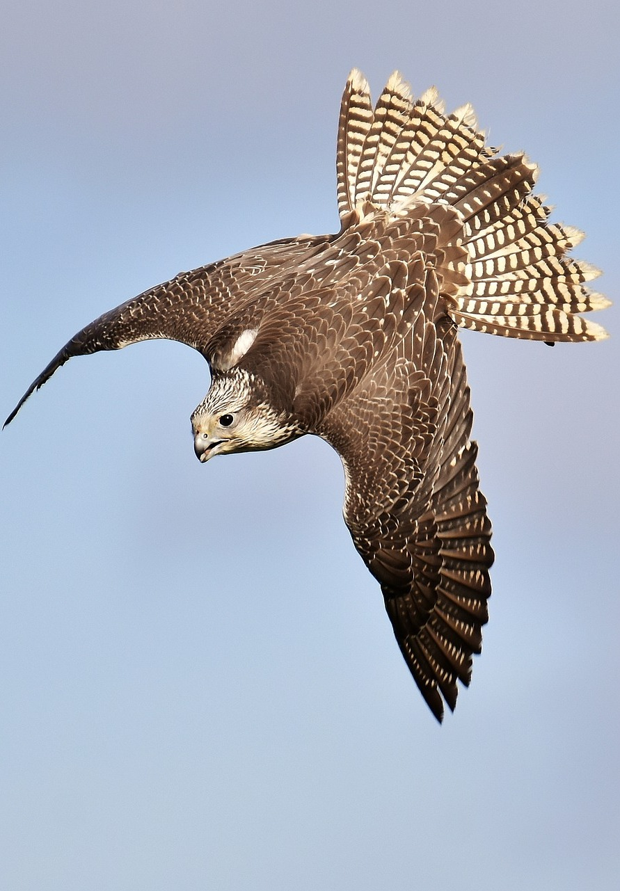 Picture of a falcon in flight.