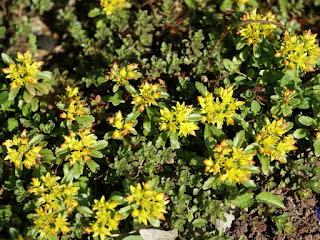 Orpin du Kamchatka - Phedimus kamtschaticus - Sedum kamtschaticum - Sedum du Kamchatka