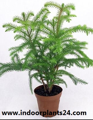 Araucaria heterophylla indoor  house plant photo