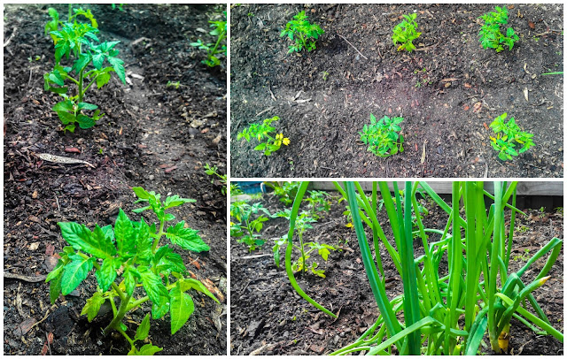 Growing tomatoes - growing vegetables at home - home garden