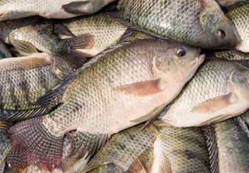 Nila Ikan Yang Memakan Anaknya Sendiri Re Tawon