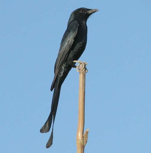 Indian birds - Photo of Black drongo - Dicrurus macrocercus