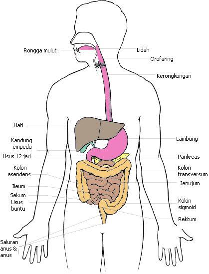 Ilmu Keperawatan Anatomi Fisiologi Sistem Pencernaan Manusia