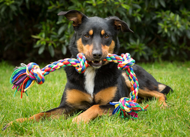 Study shows people who adopt cats and dogs from shelters are happy with their new pet. Kelpies (pictured) were one of the most common dogs.