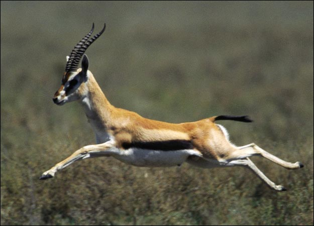 gazelle running from lion - photo #35