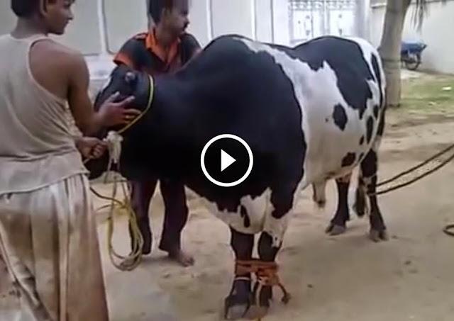 qurbani cow running 2017 - photo #5
