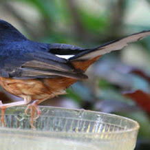 Penyebab Dan Cara Mengatasi Burung Murai Batu Pincang