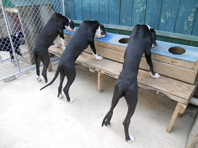 Great Danes Service Dog Project Ipswich Massachusetts