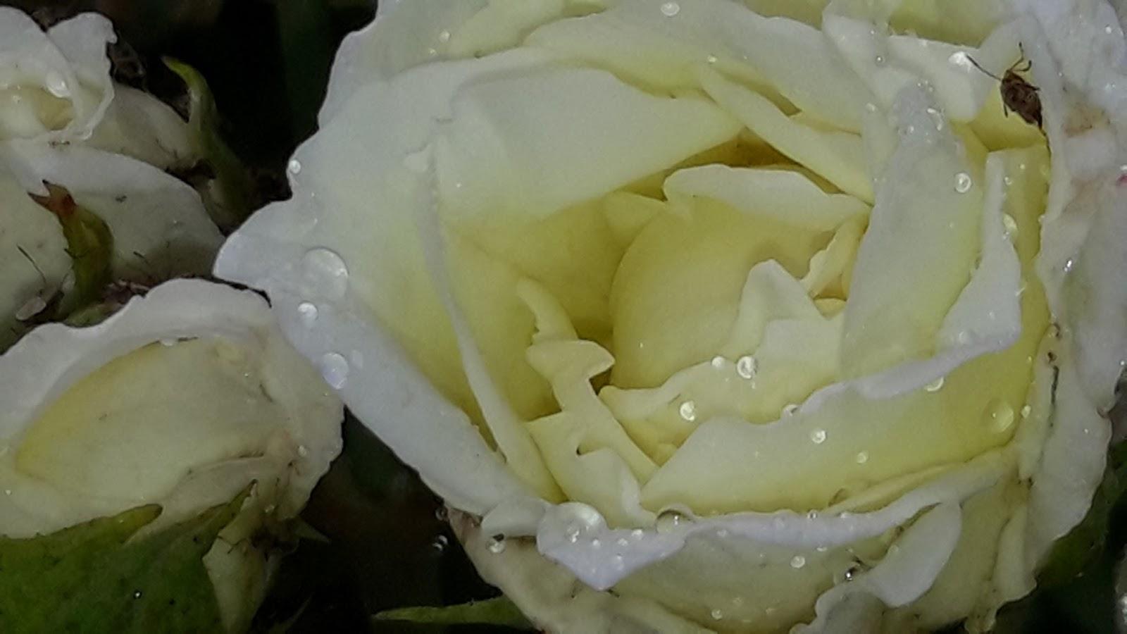 At My Rose Garden Edgeworth Lley Heirloom Roses Lemon Scented