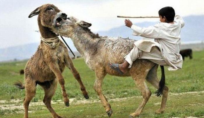funny pakistani donkey donkeys ever most