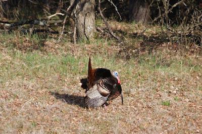 a tom turkey displaying