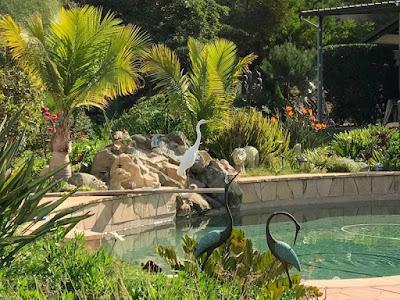 Visitor - Elegant Egret