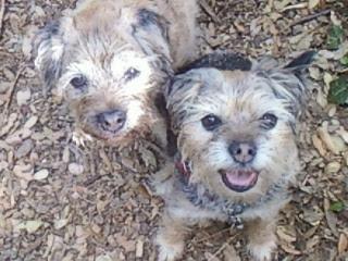 border terrier older dogs