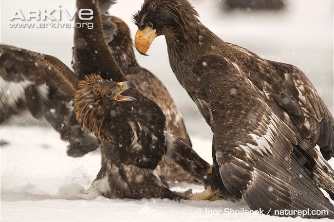 interactions between eagles Steller´s sea eagle