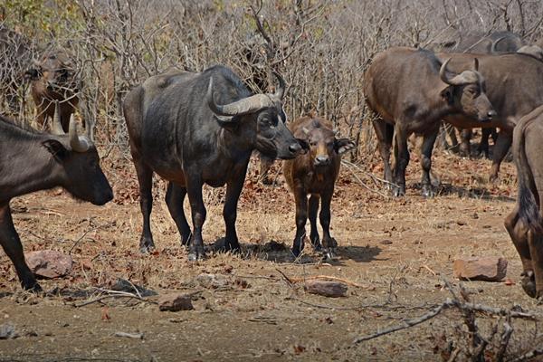 Eine Herde Kaffernbüffel kreuzen die Straße