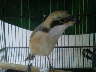 Burung Cendet - Virus Burung - Menangani Dan Mencegah Burung Cendet Terkena Virus - Solusi Penangkaran Burung Cendet