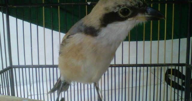 Burung Cendet Virus Burung Menangani Dan Mencegah Burung Cendet Terkena Virus Solusi Penangkaran Burung Cendet