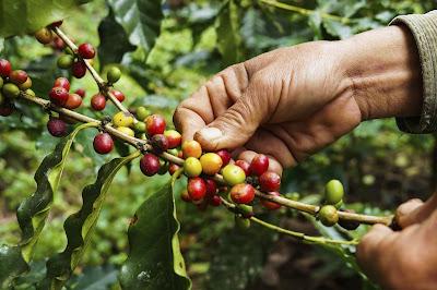 """Συγκομιδή καφέ. Ακολουθεί το κείμενο:  Δυο πράγματα δεν ευδοκιμούν στη χώρα μας. το ένα είναι το δέντρο του καφέ και το άλλο η Δημοκρατία. Και τα δύο μας έρχονται από το εξωτερικό.  Στα χώματά μας δεν μπορέσαμε ν' αναπτύξουμε με κανένα τρόπο το δέντρο του καφέ. Το κλίμα της χώρας μας, το νερό, το χώμα, δεν είναι κατάλληλα για την ανάπτυξη του δέντρου αυτού. Όσο για τη Δ η μ ο κ ρ α τ ί α… Η αλήθεια είναι πως ό,τι περνούσε από το χέρι μας, δεν παραλείψαμε να το κάνουμε, για την ανάπτυξή της, για την εδραίωσή της. Αν κοιτάξετε την ιστορία μας, πριν από εκατό χρόνια πάνω κάτω ρίχτηκε στη χώρα μας ο σπόρος της Δημοκρατίας. Είναι εκατό χρόνια που όλο λέμε: """"Αμάν η Δημοκρατία μας μπουμπούκιασε!…"""" """"Η νεαρή Δημοκρατία μας!…"""" """"Αμάν η νεαρή Δημοκρατία μας!…"""" Να είναι δοξασμένος αυτός που τη μεγάλωσε, μόλις καταφέραμε τόσα χρόνια να φέρουμε σ' αυτό το ανάστημα τη Δημοκρατία, έγινε ένα φιντάνι η Δημοκρατία. Αν ξοδεύαμε αυτό τον κόπο των εκατό χρόνων που αφιερώσαμε στη Δημοκρατία, για την ανάπτυξη του καφέ, σήμερα η χώρα μας θα γινόταν δάσος από καφέ, που δεν τ' άγγιξε ο μπαλτάς του ξυλοκόπου. Στο παρελθόν κρίθηκε απαραίτητο, δεν το είχαμε καταλάβει. αντί να φυτέψουμε σπόρο καφέ,  φυτέψαμε το σπόρο της Δημοκρατίας.  """"Δόξα τω Θεώ"""", αν και δεν έχουμε καμιά στενοχώρια απ' τη μεριά της Δημοκρατίας, εμείς ξέρουμε το τι τραβάμε από την έλλειψη του καφέ. Καφές είναι αυτός!… Δε μοιάζει σε τίποτε. Έτσι είναι η Δημοκρατία; Και να είναι και να μην είναι το ίδιο κάνει… Αν δεν υπάρχει καφές, του ανθρώπου το κεφάλι γυρίζει, αν δεν υπάρχει Δημοκρατία, του ανθρώπου το κεφάλι δεν γυρίζει. Ο καφές μοσκοβολάει, η Δημοκρατία ούτε καν έχει μυρουδιά. Τον καφέ τον βάζεις στο φλιτζάνι, τον πίνεις. Η Δημοκρατία ούτε τρώγεται, ούτε πίνεται. Σε τι χρειάζεται αυτή η Δημοκρατία, μπορείτε να μου πείτε; Στη χώρα μας έρχεται από το εξωτερικό μπόλικη μπόλικη Δημοκρατία, αλλά καφές δεν έρχεται. Τον καφέ τον πουλάνε, τη Δημοκρατία τη δίνουν. Ο καφές είναι με λεφτά, η Δημοκρατία τζάμπα Για τον καφέ χρειάζεται συνά"""
