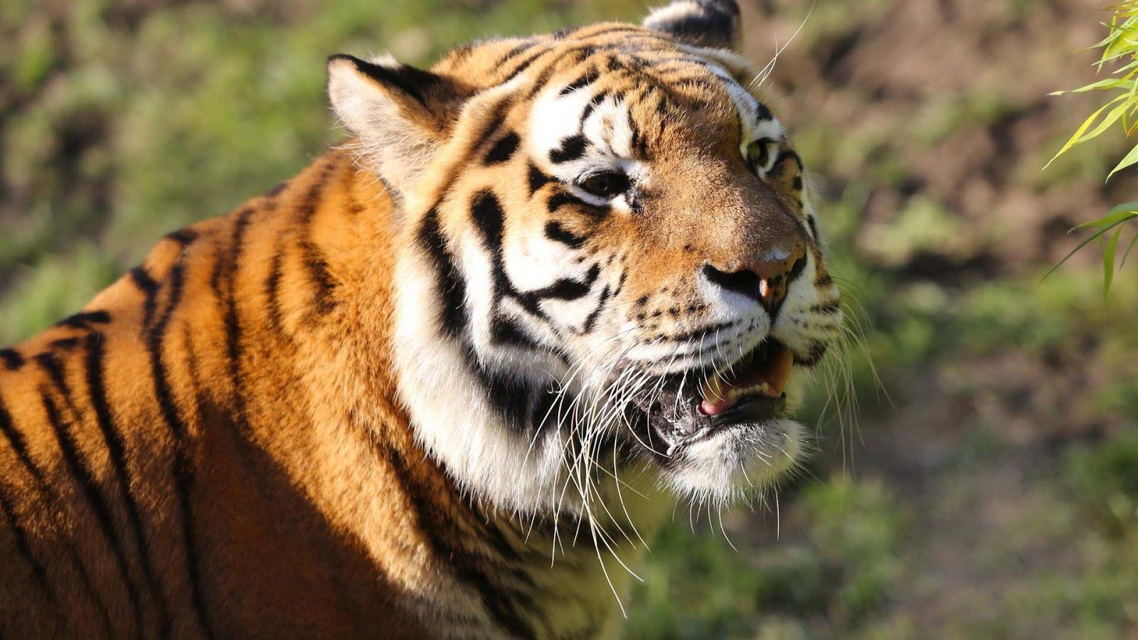 close-up-harimau-terlihat-sangat-cantik-mengerikan